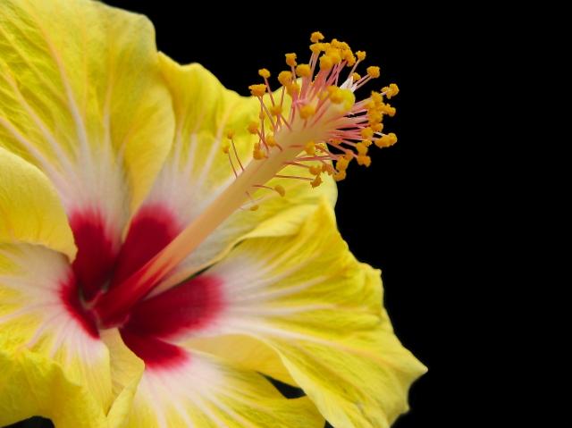 hibiscus-1393855